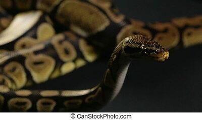 Waiting royal python - Footage of royal ball python on black...