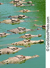 waiting - Crocodiles waiting in the sun