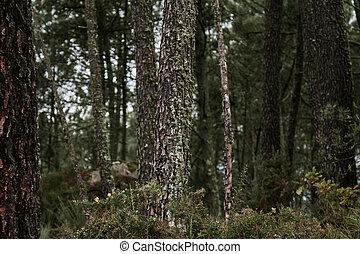 wald, landschaftsbild, kiefer