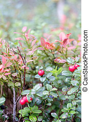 wald, lingonberry, beere