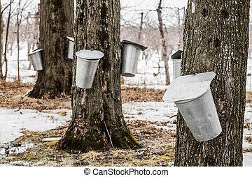 wald, von, ahorn, saft, eimer, auf, bäume