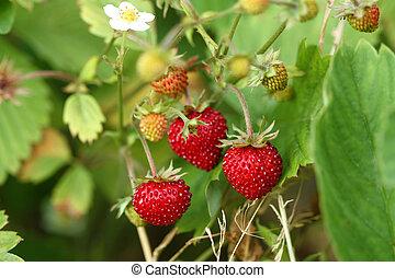 walderdbeere, busch