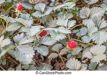 walderdbeere, pflanze, fruechte, rotes