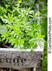 waldmeister, woodruff, galium, odoratum, of, plant