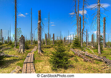 . Waldsterben - Dying forests in the Bavarian Forest on the...