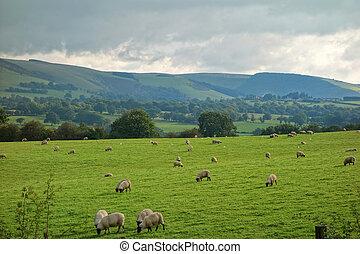 wales, platteland, velden, en, heuvels, schaap, grazing.