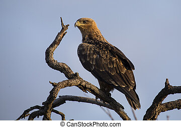 Walhlberg's Eagle sitting on branch of dead tree blue sky