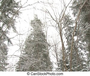 walk conifer forest snow - Walking conifer forests in...
