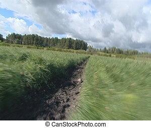 Walk pine tree saplings. - Walking between young pine tree...