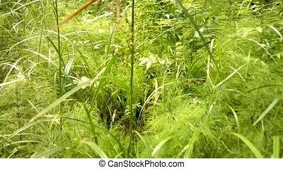 walk through wet green meadow - camera shoots under feet