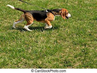 Walking A Beagle