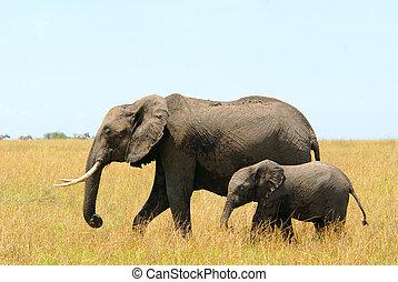 Walking african elephants mother and baby (Masai Mara...