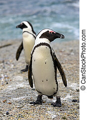 Walking African penguin (spheniscus demersus) at the Beach. South Africa