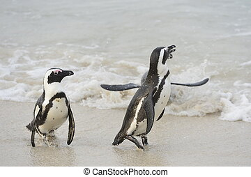 Walking African penguins
