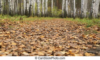 Walking along a path in birch grove
