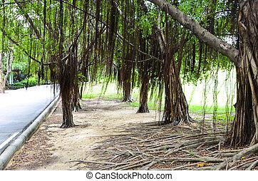 banyan tree - Walking along the banyan tree