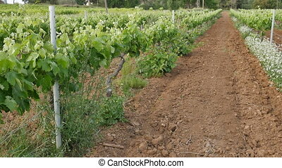 Walking Along Vineyard Lanes - Ronin steady cam view of a...