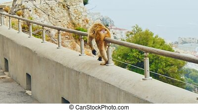 Walking Barbary Macaque - Barbary Ape walking on balustrade...