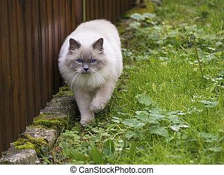 Walking cat. Heilige Birma. - Heilige Birma Katze jagt auf...
