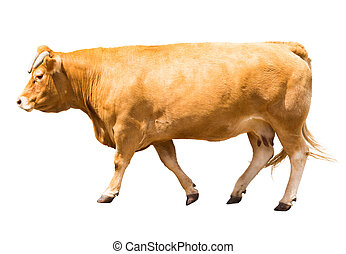 Walking cow, isolated over white