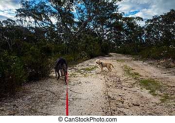 Walking Dogs in the Australian Bush