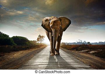 Walking Elephant - Single elephant walking in a road with...
