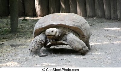A giant African spurred tortoise (Centrochelys sulcata) is coming