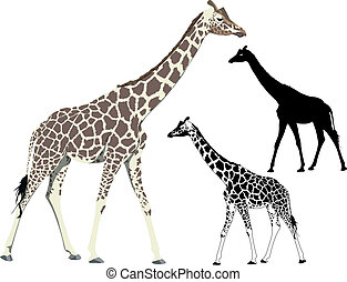 Walking giraffe - Vector illustration and silhouette of...
