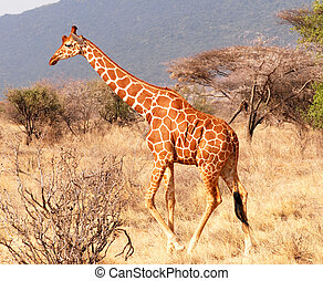 Walking giraffe  in  Samburu National Reserve (Kenya)