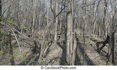 Walking green forest - Walk around spring windbreak thicket ...