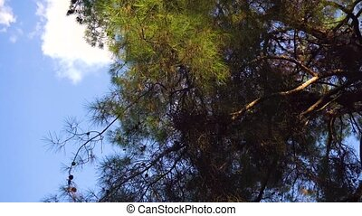 Walking in the forest and camera view on trees on top and...