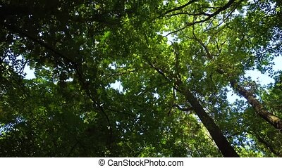 Walking in the forest and looking on top of green trees