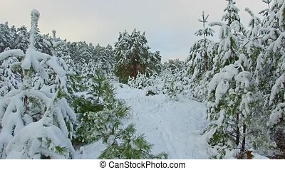 Walking in the woods, steadicam shot. christmas tree the beauty nature landscape outdoors