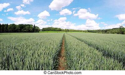 walking in wheat field