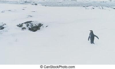 Walking King penguin. Antarctica aerial flight. - Snow...