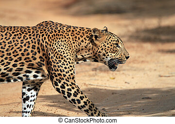 Walking Leopard in Profile - Close Profile View of a Sri...