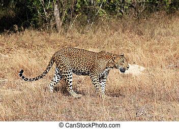 Walking Leopard - Sri Lankan Leopard (Panthera Pardus...
