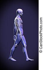 Walking man - anatomy skeleton