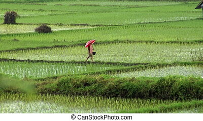 walking on rice field in rain