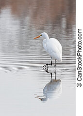 Walking on Water - With delicate strides a great egret...