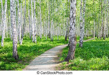 Walking path in birch grove