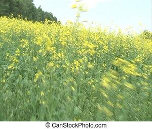 walking rapeseed field