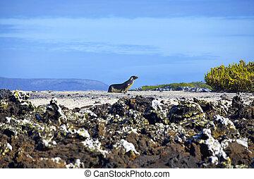 Walking sea lion