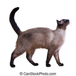 Walking Siamese cat, isolated on white background
