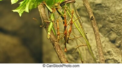 Walking stick insect , extreme close up, magnification1