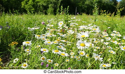 walking through a blossoming meadow with daisies