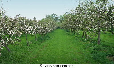 Walking Through Apple Orchard - Walking pov down the middle...