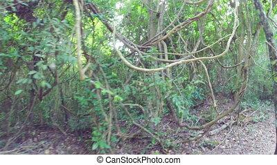 Walking through jungle, steadicam shot