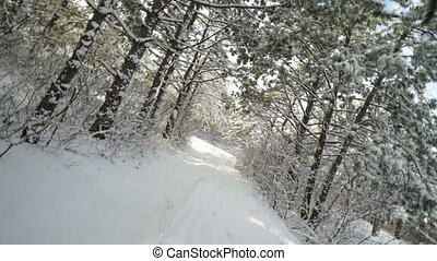 Walking through the snow covered pine trees in winter...