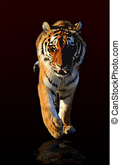 walking Tiger - Tiger walking black background